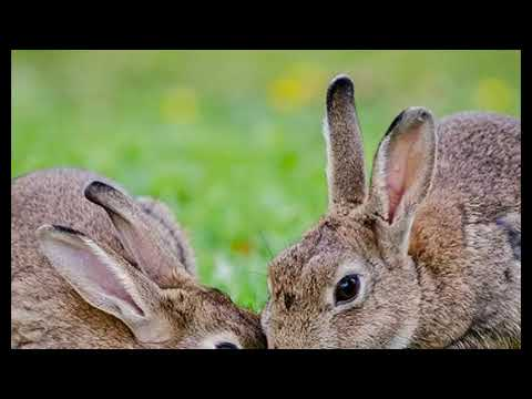 Bunny Ebola: Deadly Rabbit Virus Spreads in Southwestern US Killing Thousands of Animals
